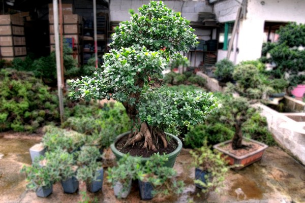 destacada-DomesticBonsai